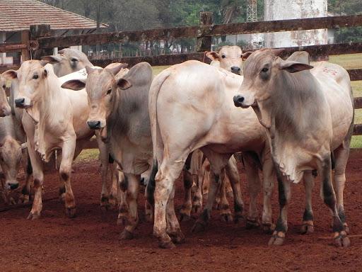 Brasil abateu 8,04 milhões de cabeças de gado a menos no último trimestre; redução é de 1,8%, aponta levantamento feito pelo IBGE https://www.facebook.com/NorteAgroTO/photos/a.1000295639985934/3338914449457363/?type=3&theater… #NorteAgroTO #agropecuária #agronegócio #pecuária #pecuáriadecorte #abatedebovinos #bovinocultura #carnebovina @ibgecomunicapic.twitter.com/Ai6a22ljFc