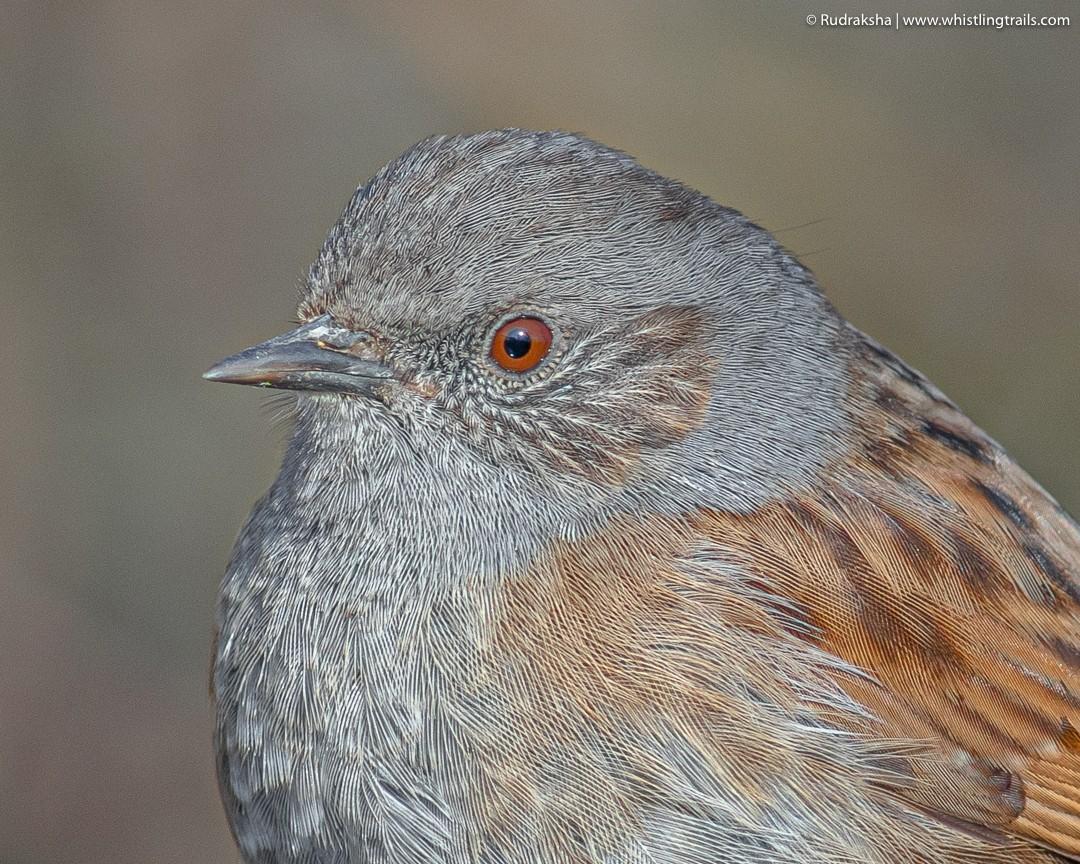 RT @rudraksh9: Dunnock #birding #earthcapture #bbcwildlifepotd @avibase @orientbirdclub @wildbirdtrust @natgeowild @animalplanet @wildindiain @birdwatchdaily @natures_voice @_BTO @BTO_ @natureUk @wildlife_uk @bbcspringwatch @inatureuk @team4nature