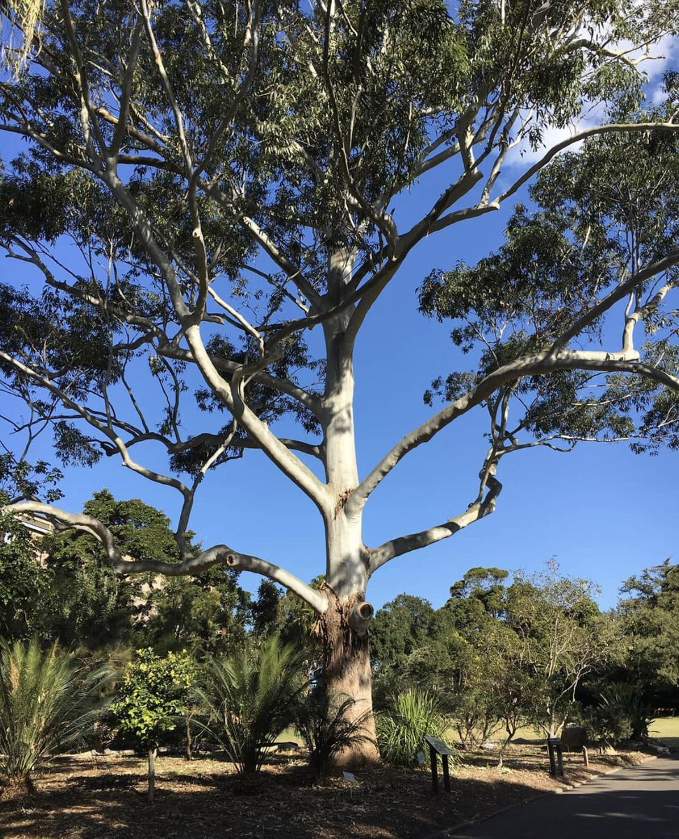 🎵 Once upon a time I was falling in love, now I'm only falling a part. Nothing I can say, total Eucalypts of the heart #vdaypunoff #ValentinesDay