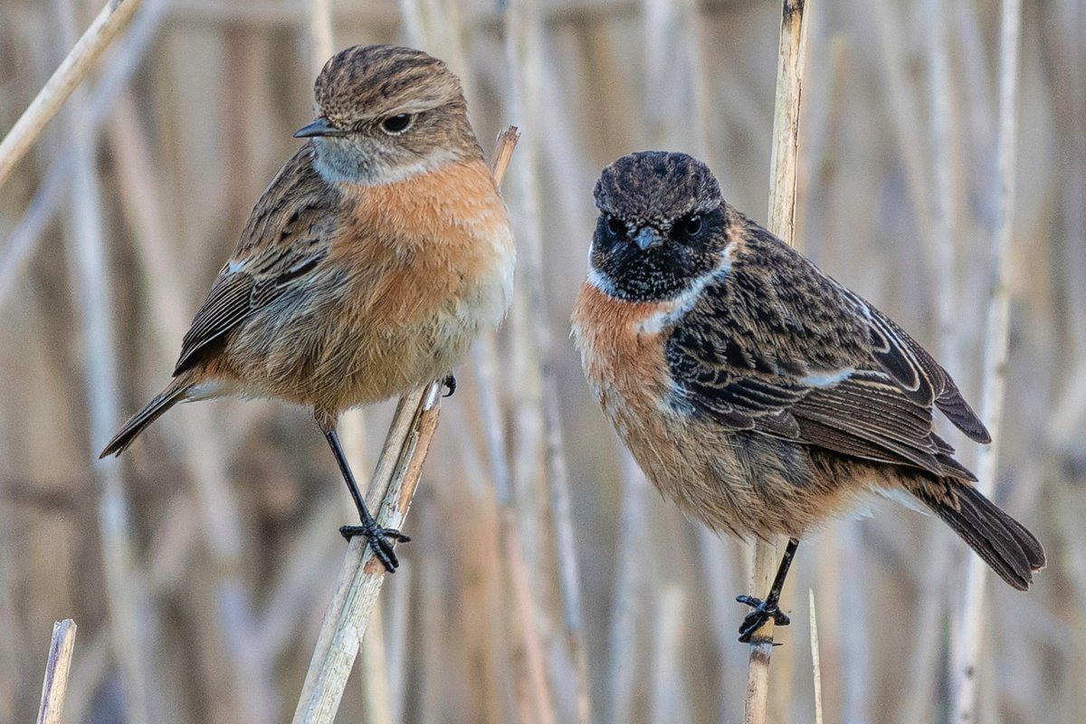 RT @AnthonyPMorris: Love is in the air - Beautiful Stonechat couple at RSPB Otmoor, Oxfordshire @Natures_Voice @wildlife_uk @WildlifeMag @BBCEarth @BBCSpringwatch @BBCCountryfile @BBOWT @WildlifeTrusts #stonechat #love #valentines #springwatch
