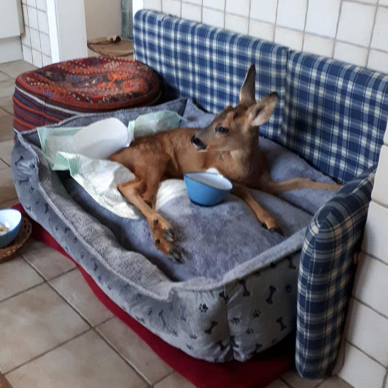 Hilfe und Pflege für verletztes Rehkitz - Unsere saugstarken MEDDAX Krankenunterlagen konnten bei der Genesung helfen Doch was hat ein Reh denn nun mit MEDDAX zu tun? Lesen Sie die ganze Story hier:  https://meddax24.de/kundenstories/hilfe-und-pflege-fuer-verletztes-rehkitz…  #Hilfe #Tierhilfe #verletzt #gutgemeint #guterzweck pic.twitter.com/Ui0dW0qX4Q
