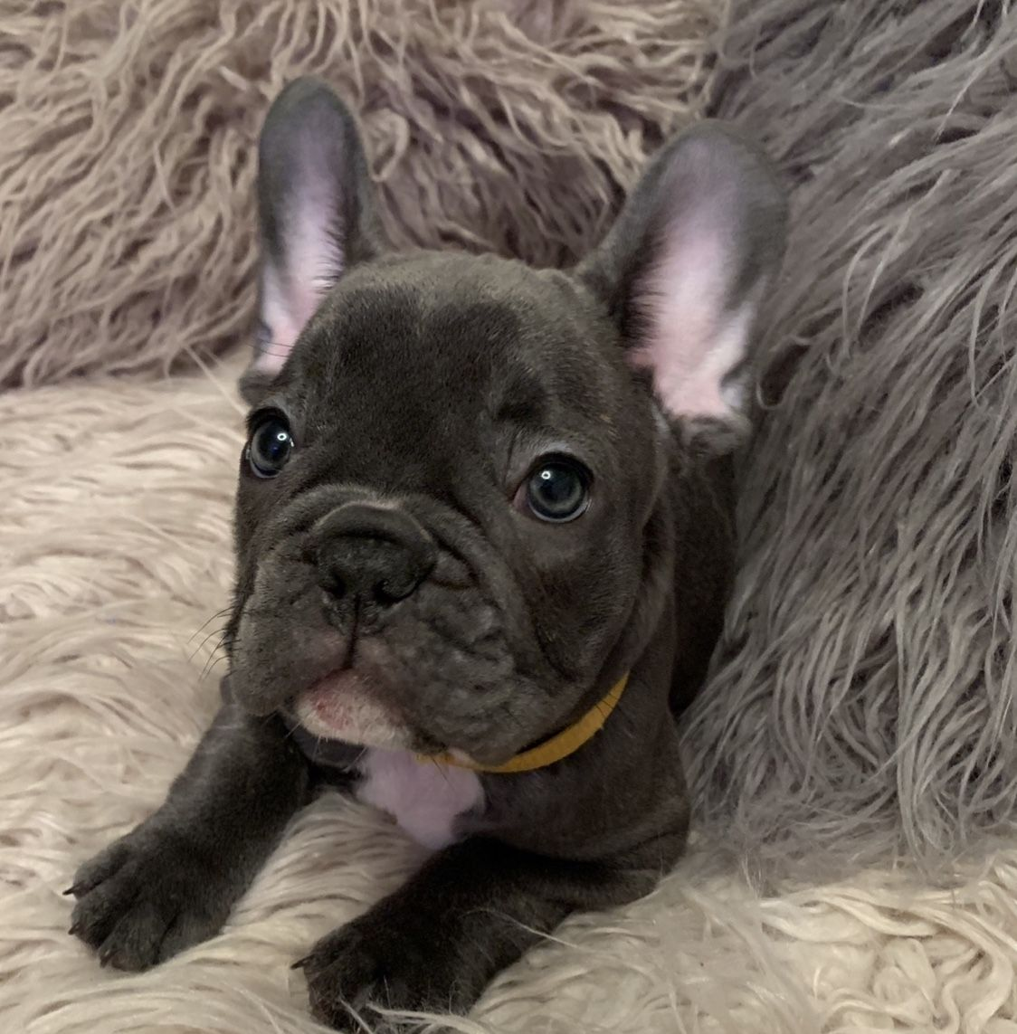 cute pup available @PetsatHome, @CuteAnimals181 @frenchbulldog79 ,@FrenchBulls ,@24kFrenchies ,@DreFrench1 ,@PetsatHome @PetShopity<br>http://pic.twitter.com/oHRg3S20P7