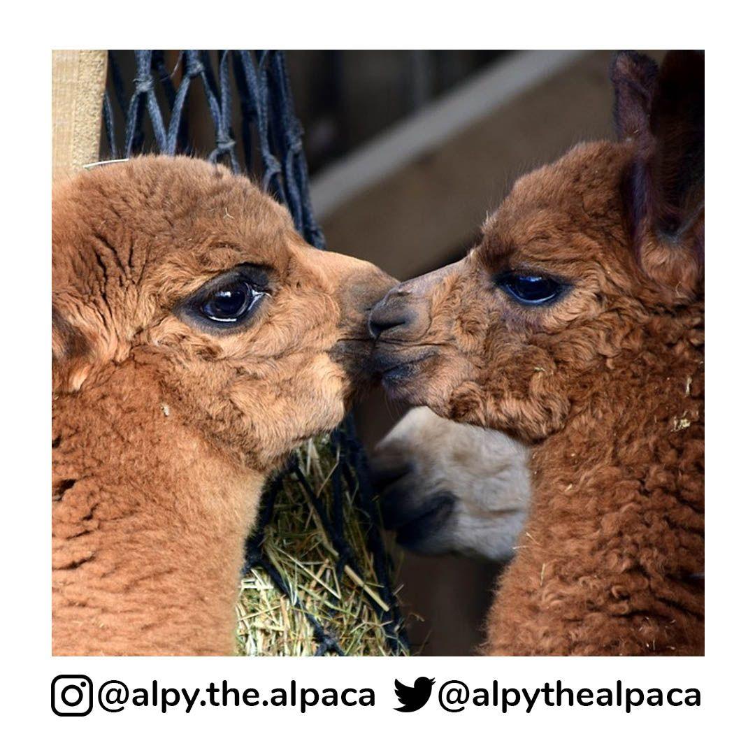 Now, Kiiiiiiiithhh . .  DM me for Credit/Removal  . . . . . #alpy #alpy.the.alpaca #alpaca #alpacagram #alpacalover #alpacas #alpacasofinstagram #alpacaworld #dailyalpaca #lllama #llamas #alpaka #alpakas #alpaga #alpagas #アルパカ #alpacalove #альпакаpic.twitter.com/inxaAJalbo
