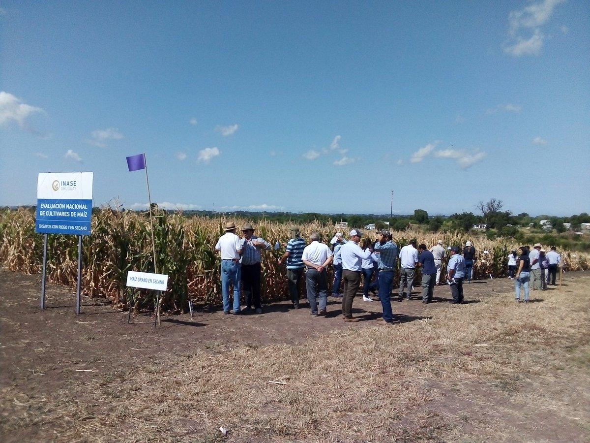 test Twitter Media - Estamos participando de la jornada de evaluación de cultivares de maíz con y sin riego del INASE. Buen año para ver las diferencias. @INASE_UY https://t.co/guSG4ChGpc