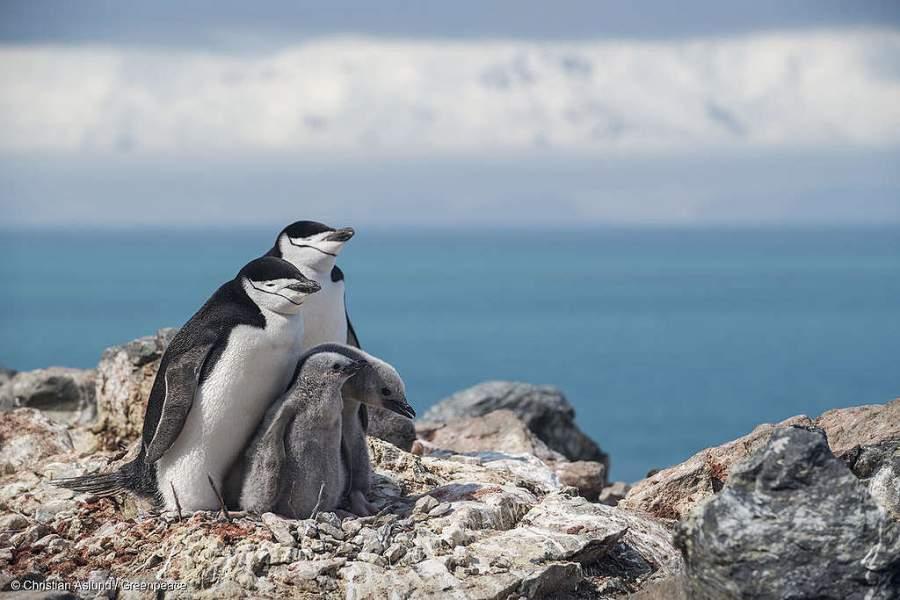 🐧 Colonias de pingüinos se reducen dramáticamente en últimos 50 años por altas temperaturas en la Antártica bit.ly/37qhAEe
