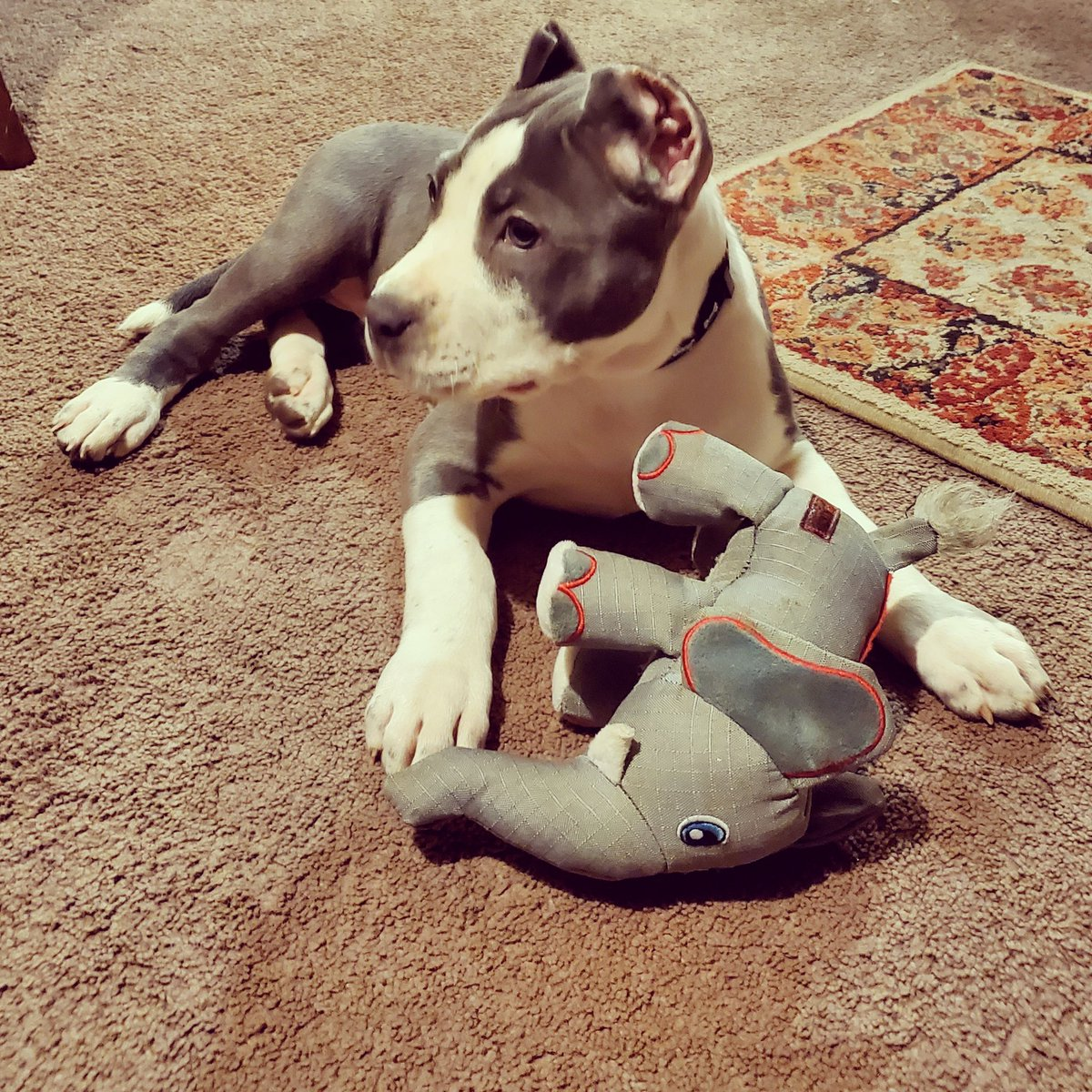 New addition to the family ?? Yall got name for this big girl?  https://www.instagram.com/controlledkhaoskennels/ … #puppy #xlbully pic.twitter.com/whD11aPjzI