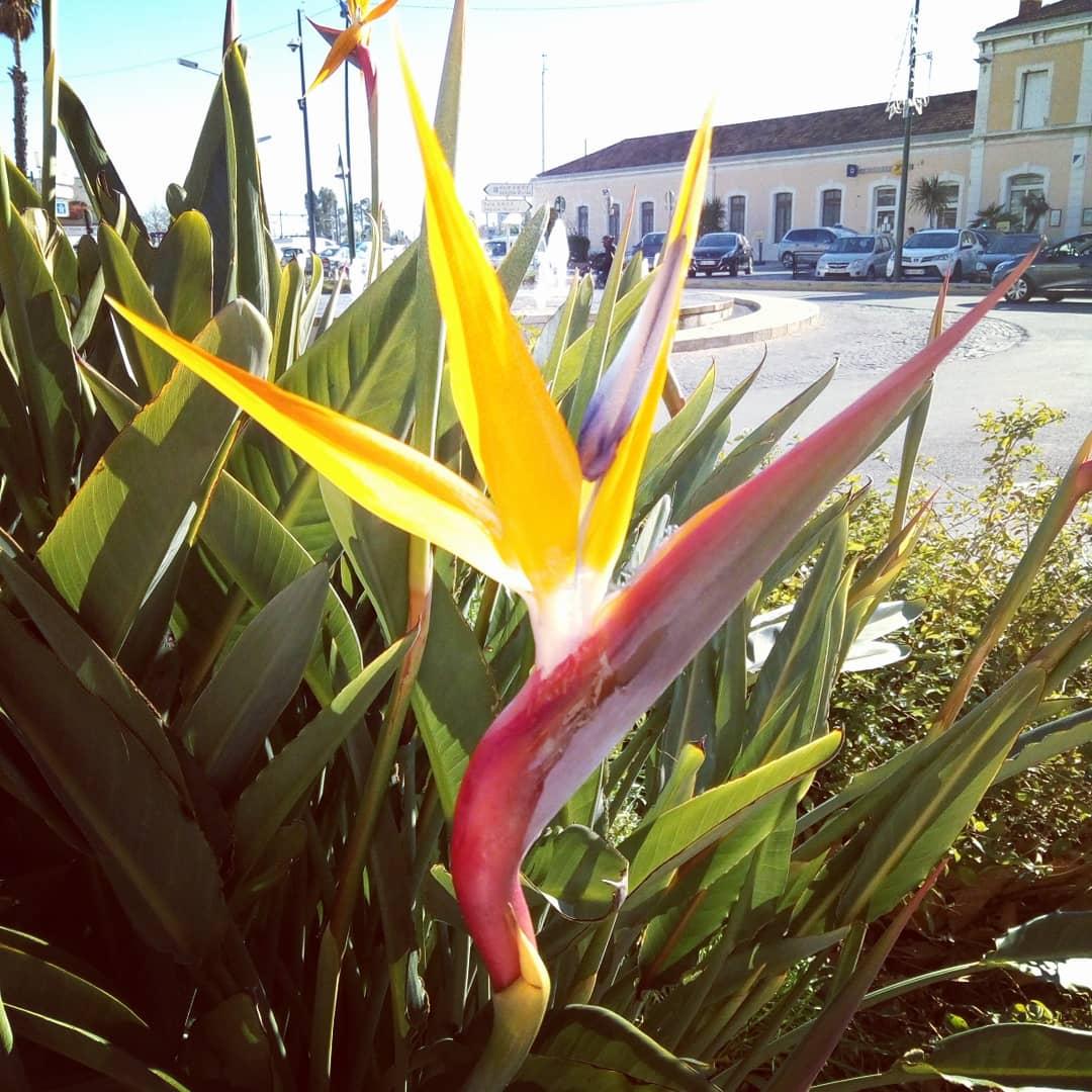 Happy Valentine's day #南仏 #イエール #極楽鳥花 #ストレリチア が色鮮やかに咲いています。イエール駅前で撮影。南アフリカ原産でエキゾッチックな美しさです。今日の気温は日中19度。#ミストラルの風 が吹いています。防寒対策お忘れなく。Bon week-end.  #南フランス