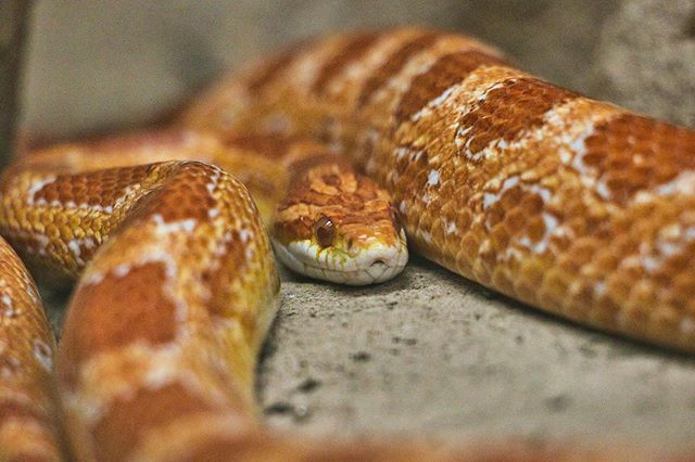 Corn snake #reptilesofinstagram #wildlife #tierfotografie #canondeutschland #canonphotography #bestanimalpics #fotografieren #canonphoto #animalsaddict #canonfotografie  #bielefeld #fotoshooting #zoophotography #instazoo #everything_animals #animals_in_w… https://ift.tt/2SOnGchpic.twitter.com/pY6BTDhm7T