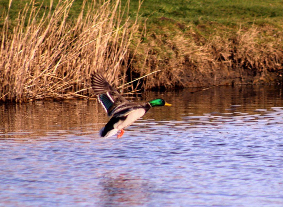 RT @quaker2607: Mallard coming into land @SupportNWT @Natures_Voice @wildlife_uk @CanonUKandIE @BirdWatchingMag