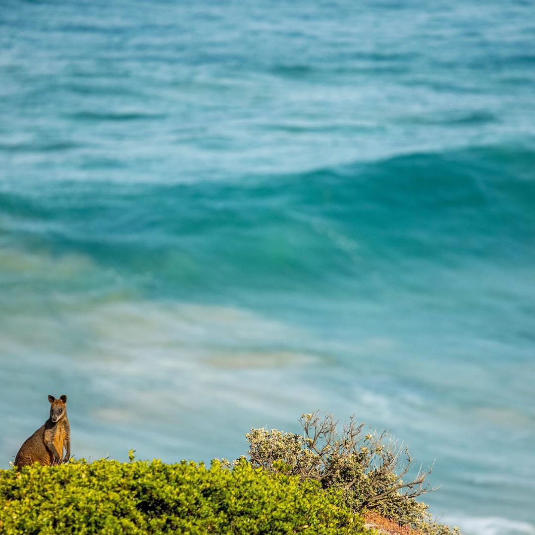 test Twitter Media - Wallabies and waves, it doesn't get much better than this. Planning a trip down the island? Make sure you stop at The Cape Kitchen for brunch with an ocean view (via IG/adventurers). https://t.co/c9CXa4L5ic