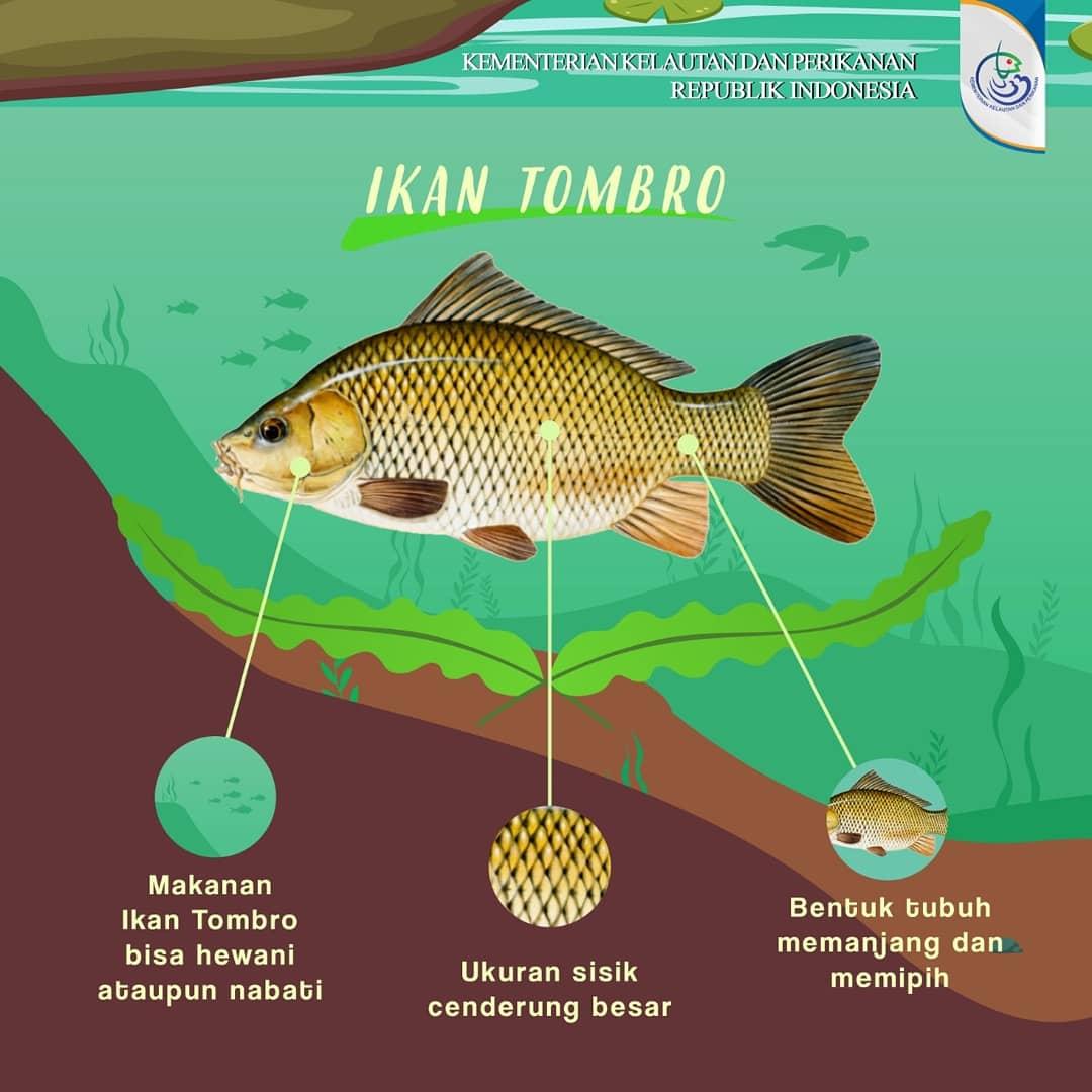 Kkp Ri On Twitter Sahabatbahari Siapa Di Sini Yang Sedang Atau Pernah Ternak Ikan Tombro Kalau Belum Nih Mimin Kasih Tahu Infonya Agar Kalian Semangat Untuk Ternak Ikan Tombro Kabarkkp Kkpgoid