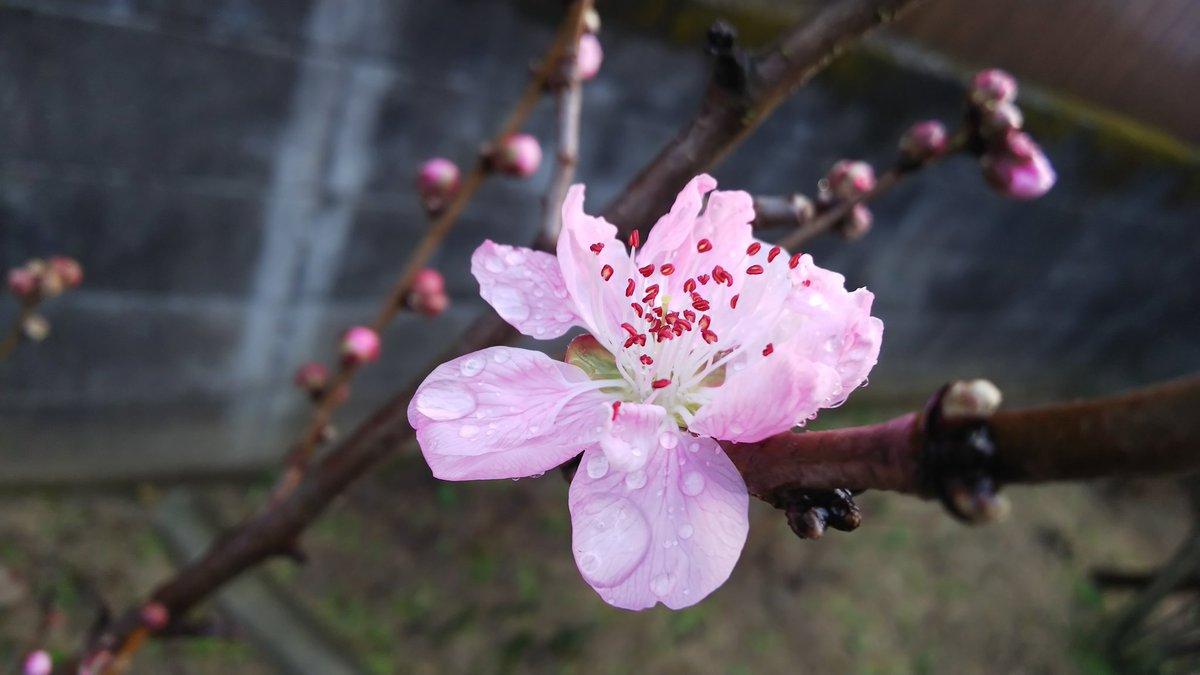 おはようございます🌸今日は2020年2月15日(土曜日)です🌸昨日葬儀から戻りましたら、我が家の桃の花が咲いておりました🌸葬儀は悲しいですが、普段会えないおチビさんのぬくもりを頂けて悲しみが和らぐのを感じました。それと久々の筋肉痛ねwおチビさんのパワーはすごいwと痛感した目覚めよ😊