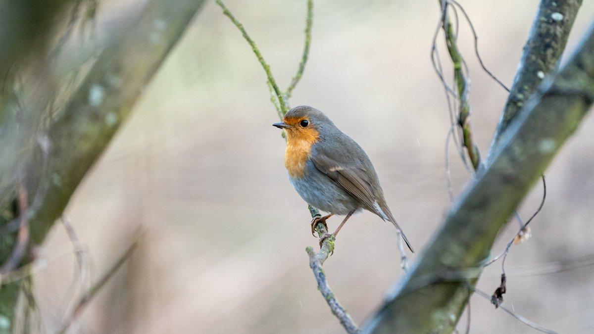RT @markccphoto: Robin near Island Hide RSPB Titchwell Marsh Norfolk UK @NorfolkWildlife @SonyAlphaRumors @wildlife_uk @natures_voice @BirdGuides @BirdwatchExtra @britBirdLovers #wildlife #nature #photography @wildlifeuk #TwitterNatureCommunity