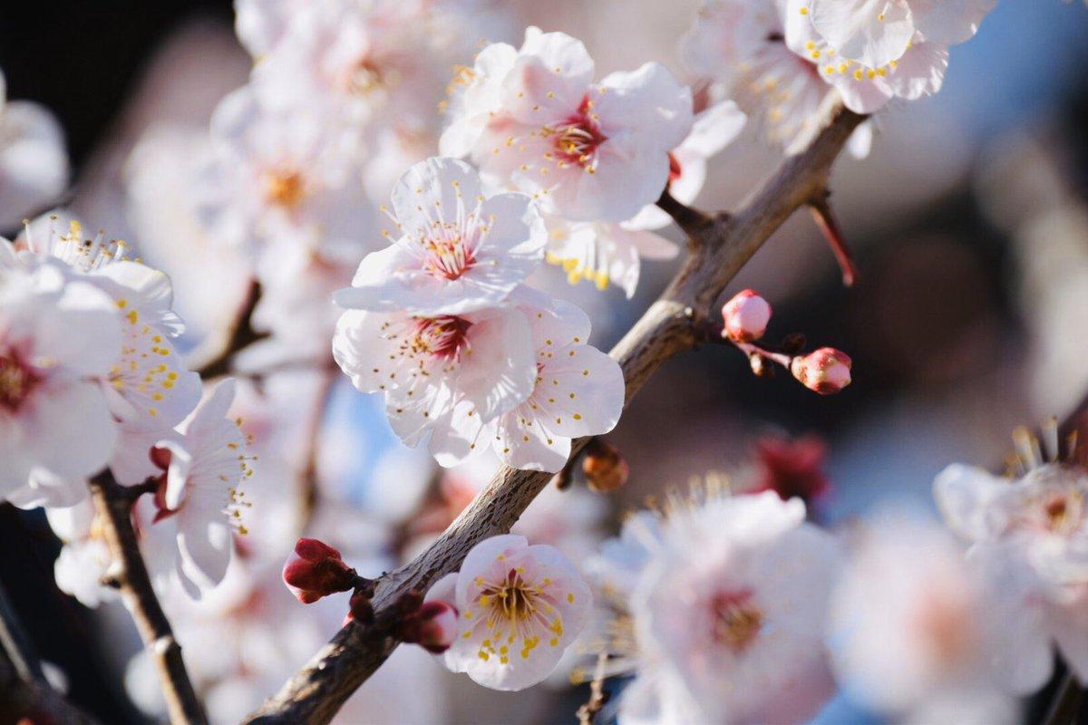 おはようございます。 大阪城公園 梅林  #カメラのある生活 #カメラ好きな人と繋がりたい #写真好きな人と繋がりたい #写真撮ってる人と繋がりたい #ファインダー越しの私の世界 #お花好きな人と繋がりたい #梅 #梅林 #大阪城 #photography  #写真 #Nikon #photo #キリトリセカイ