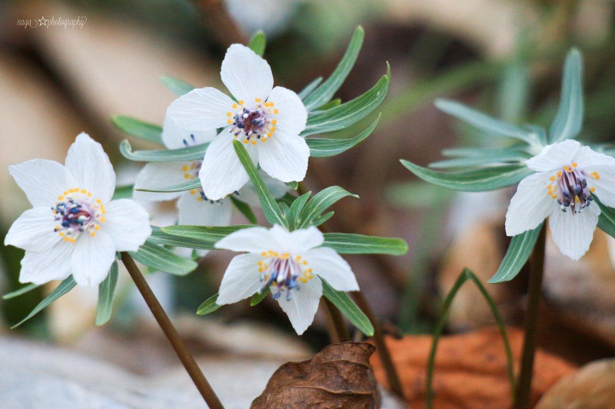 栃木 星野町  四季の森星野  セツブンソウ自生地 直径2cmの小さい森の妖精🧚  #セツブンソウ  #photography #写真好きな人と繋がりがたい  #flower