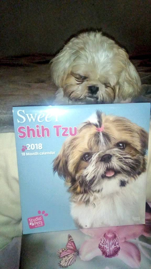 #ThrowbackThursday When Mummy bought a calendar wiv uvver Tzus in it to put on da wall 😼 Me woznt too impressed 😒 #thursdayTallulah