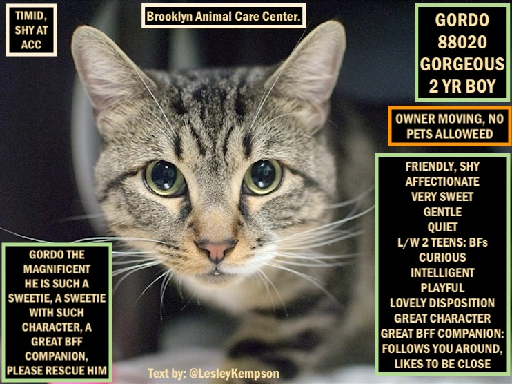 @NYCDEATHROWCATS GORDO MUST BE SAVED BY 12 PM NY TIME FEB 29 2nd CHANCE GORGEOUS 2 YR BOY-O SURRENDER SHY, TIMID AT ACC FRIENDLY, SHY AFFECTIONATE VERY SWEET L/W 2 TEENS:BFs PLAYFUL LOVELY DISPOSITION GREAT CHARACTER GREAT BFF COMPANION: FOLLOWS U AROUND, LIKES TO BE CLOSE