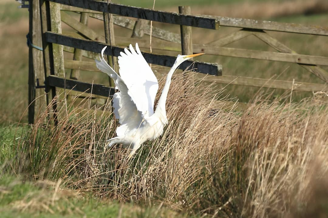 RT @Jthomas123Jay: Great White Egret at #rspbgreylake #TwitterNatureCommunity @birdwatchingmag @wildlifemag @bbccountryfile @wildlife_uk @BBCSpringwatch @Natures_Voice @BirdSpotUK @BBCEarth