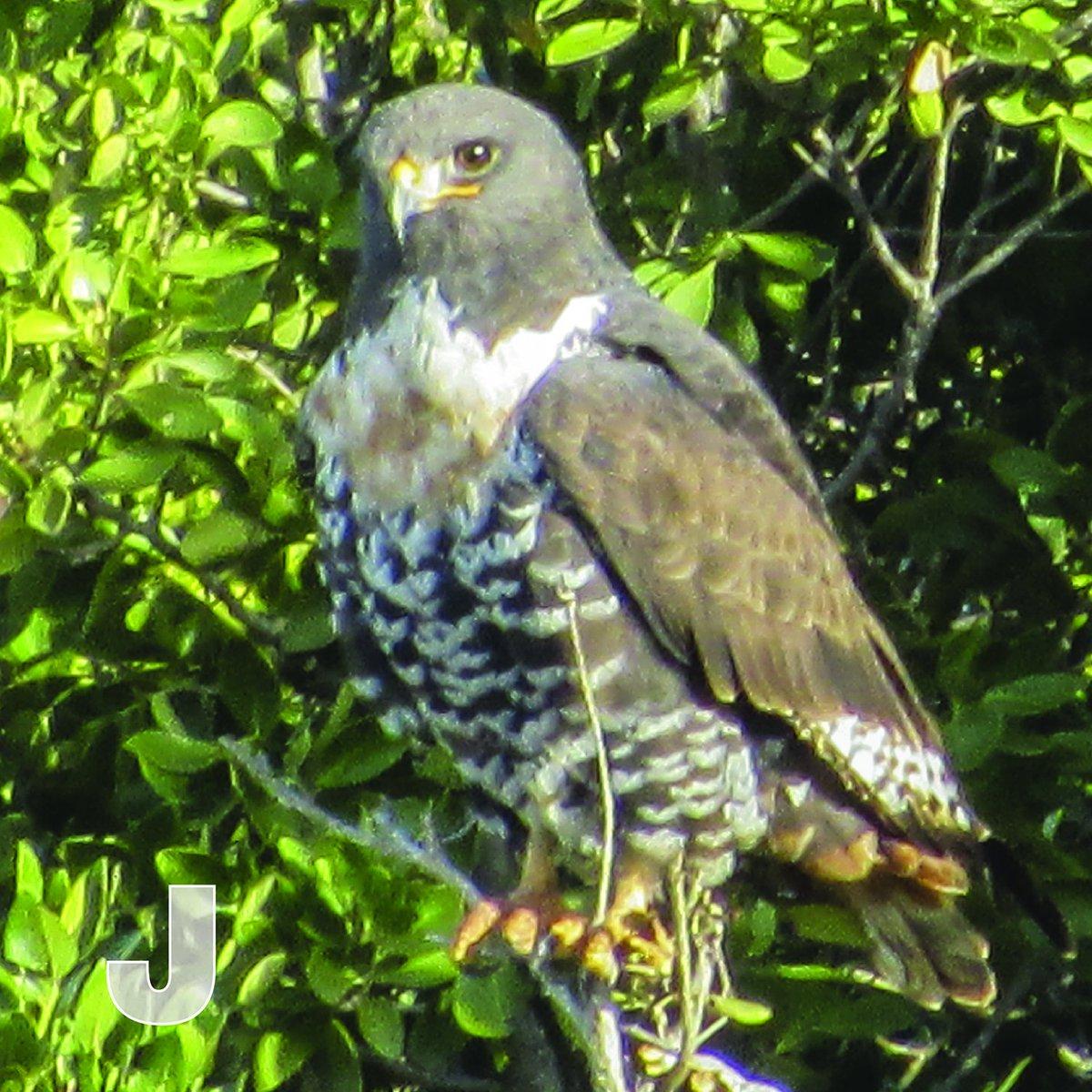 J is for Jackal Buzzard. A striking South African bird of Prey. So pretty too. #atoz #birdlife #jackalbuzzard #bird #birds #southafrica #naturepic.twitter.com/ik0mKeiP9E