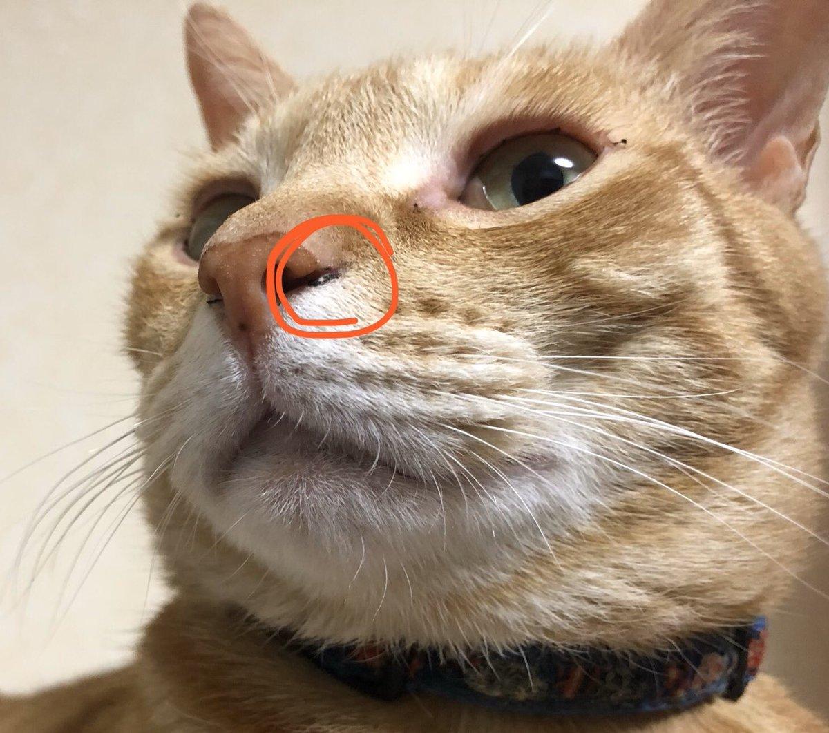 が 黒い 鼻くそ 猫