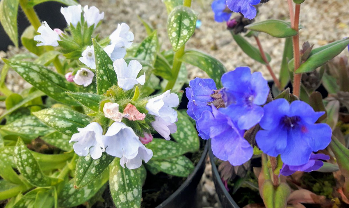 #FridayFeeling , well it may be #wet & #windy out again! ,  but under our #shade tunnel the #lungworts are putting on their #spring glory-  #pulmonaria #Opal , & #Blue Ensign