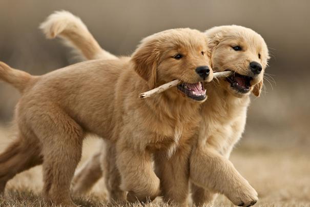 【子犬はジェントルメン】オスの子犬がメスの子犬と遊ぶときオスはメスが勝つようにするそうです。子犬であっても体格や力はオスの方が上ですが、それを理解したうえでメスの子犬に勝ちを譲ってあげるそうです。