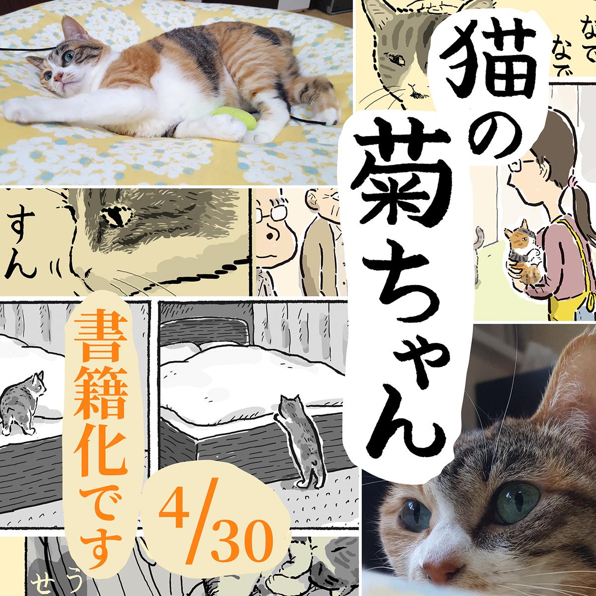 【お知らせです】いつも皆さまが見てくださり、菊ちゃんの漫画を本にしていただけることになりました!題名は『猫の菊ちゃん』です。描き下ろし漫画や、中篇漫画の「菊ちゃんが初めて家に来た日」も載せていただきました。予約受付中です(4/30 発売)→#猫の菊ちゃん