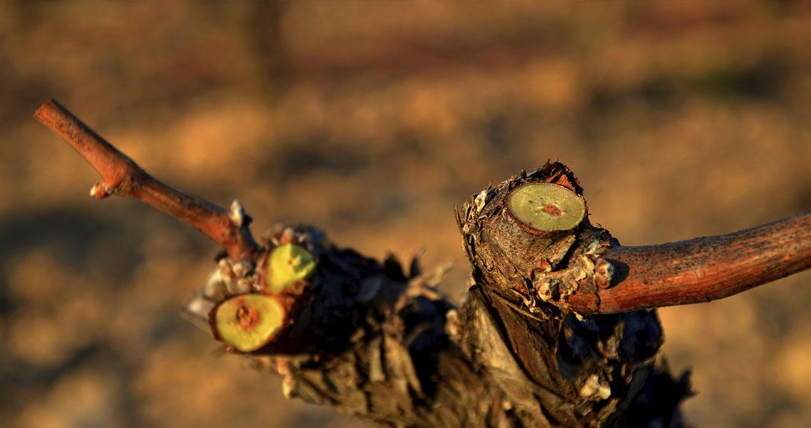 ¿Sabes por qué se realiza la poda de invierno? Descúbrelo en nuestra escuela de vino maset.com/es/blog/la-pod…
