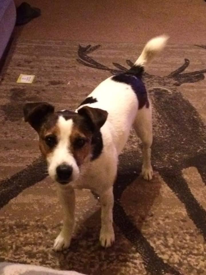 #Missing #dog #JackRussellTerrier 23/2/20, #Huish #Champflower #Taunton #Somerset #TA4 area. @rosiedoc666 @DoglostUK @MissingPetsGB