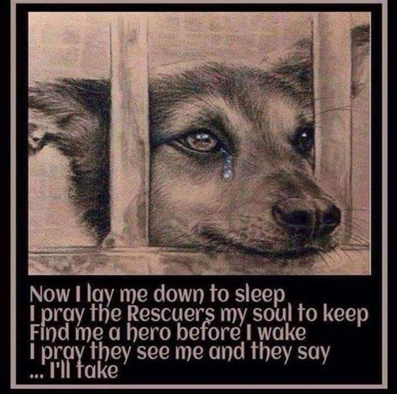 Now I lay me down to sleep I pray the Rescuers my soul to keep Find me a hero before I wake I pray they see me and they say . . . I'll take.  #Dogs #Dog #AdoptDontShop #BestFreind #DogsAreLove #BeKind