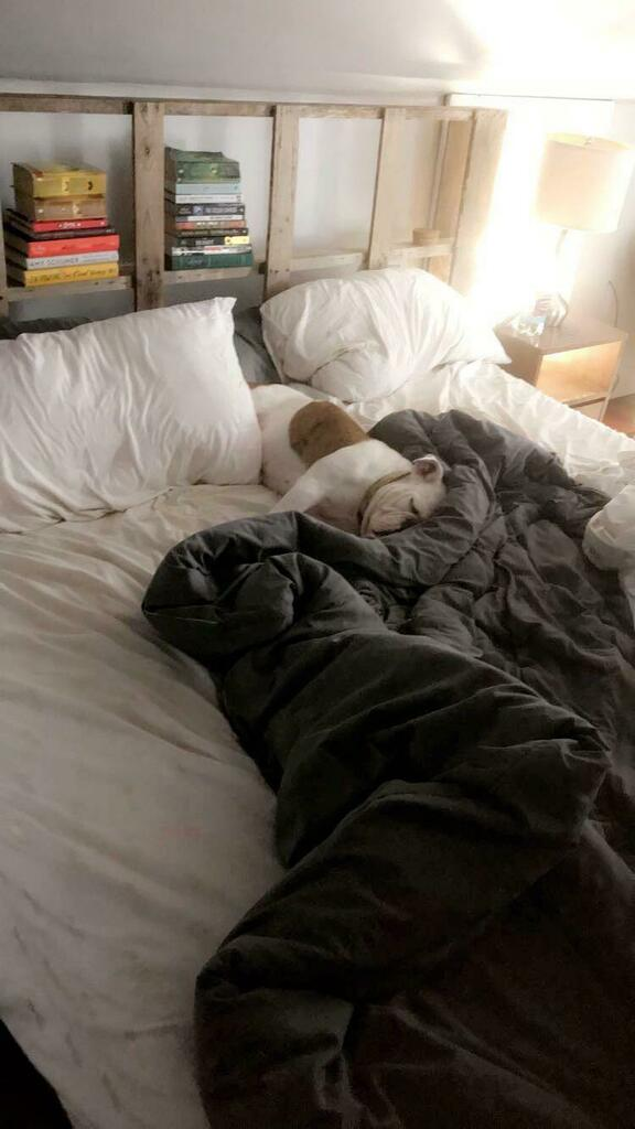 Five more minutes.... #bulldog #englishbulldog #bulldogpuppies #dog