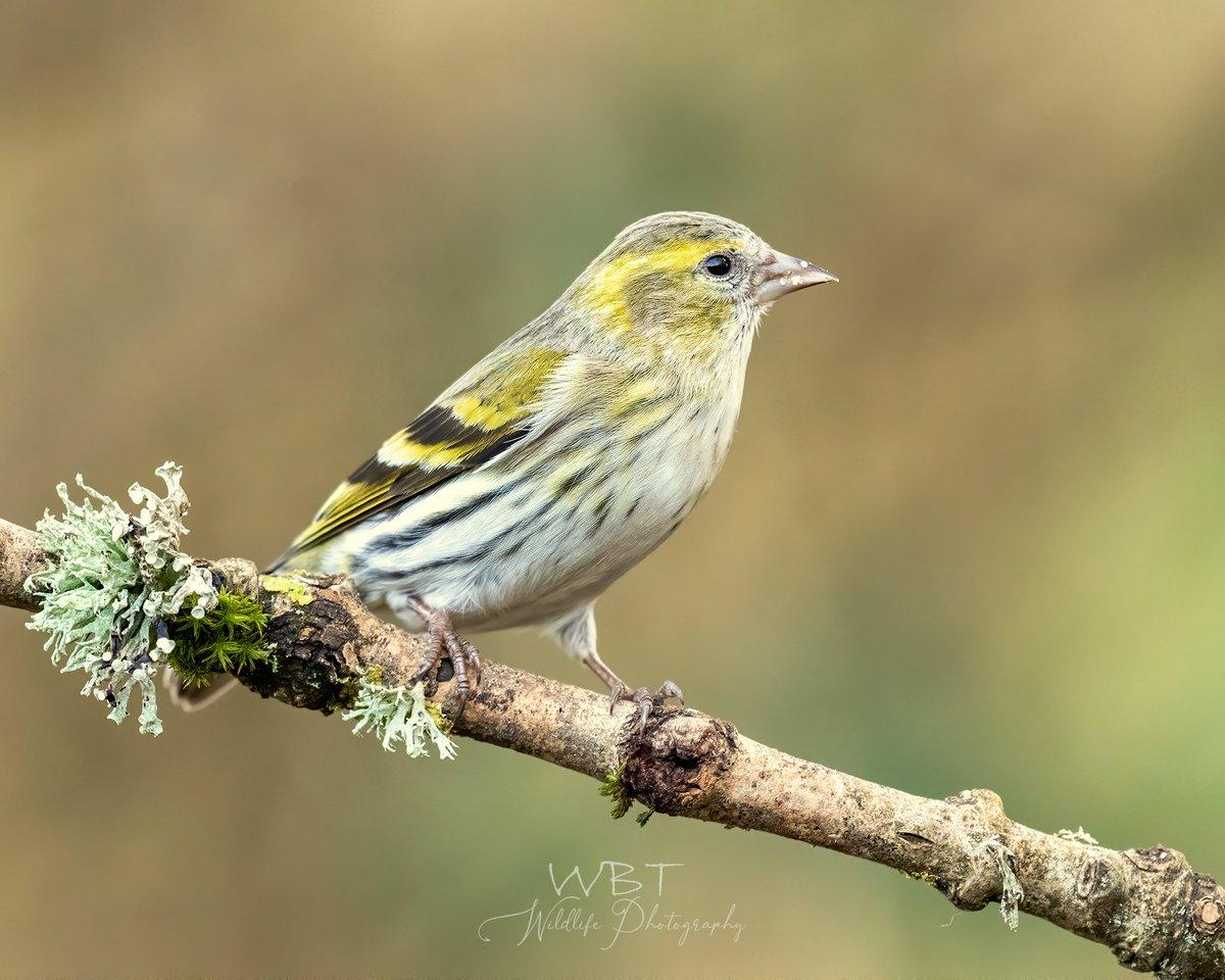 RT @AndyDaveyPhoto: Female Siskin, such a lovely bird #TwitterNatureCommunity #RSPB #Birding #UnderTheBirdWork #NatureLovers #BirdPhotography @Natures_Voice @NatureUK @WildlifeMag @iNatureUK @Wildlife_UK @BBCSpringwatch @Birds_UK @BirdwatchExtra