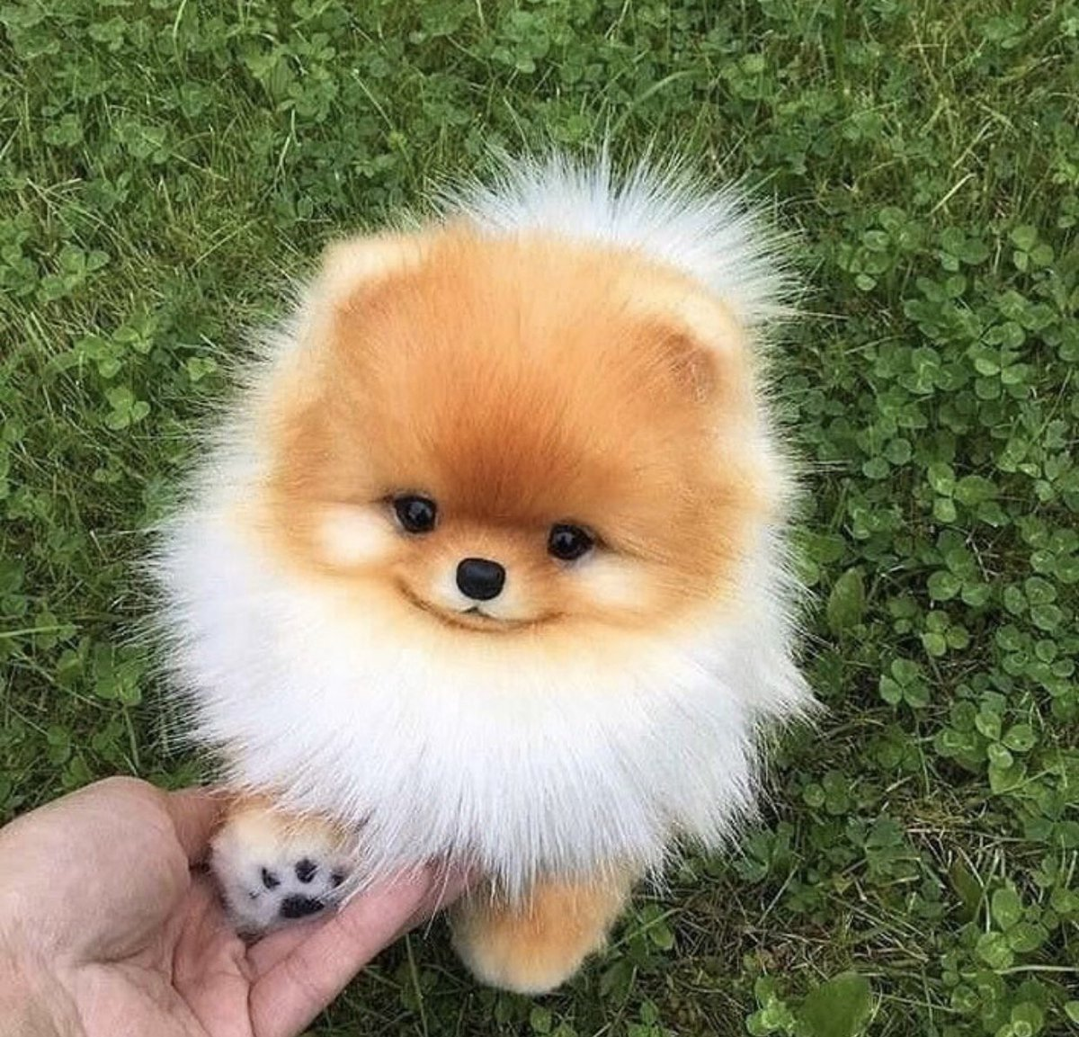 You have been visited by happy pom pup. 😀 Make your friends smile! 😎😀☺️   #happy #smile #dog #thedailypomeranian