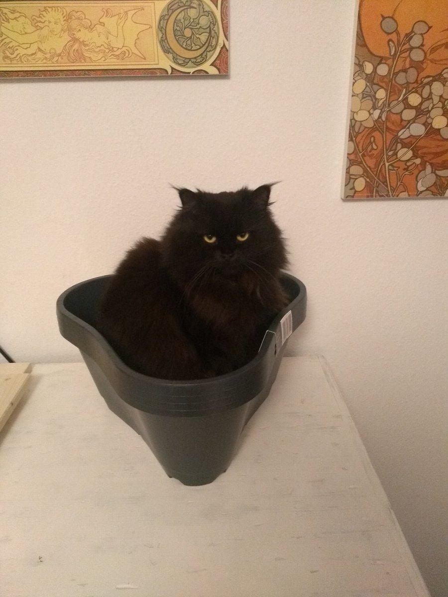 Der Pappkarton vom Sofa ist auch sehr spannend und die andere Katze liebt stattdessen meinen Kartoffeltopf heiß und innig, in den ich eigentlich noch Kartoffeln pflanzen will :D pic.twitter.com/sdHdWeN3cu