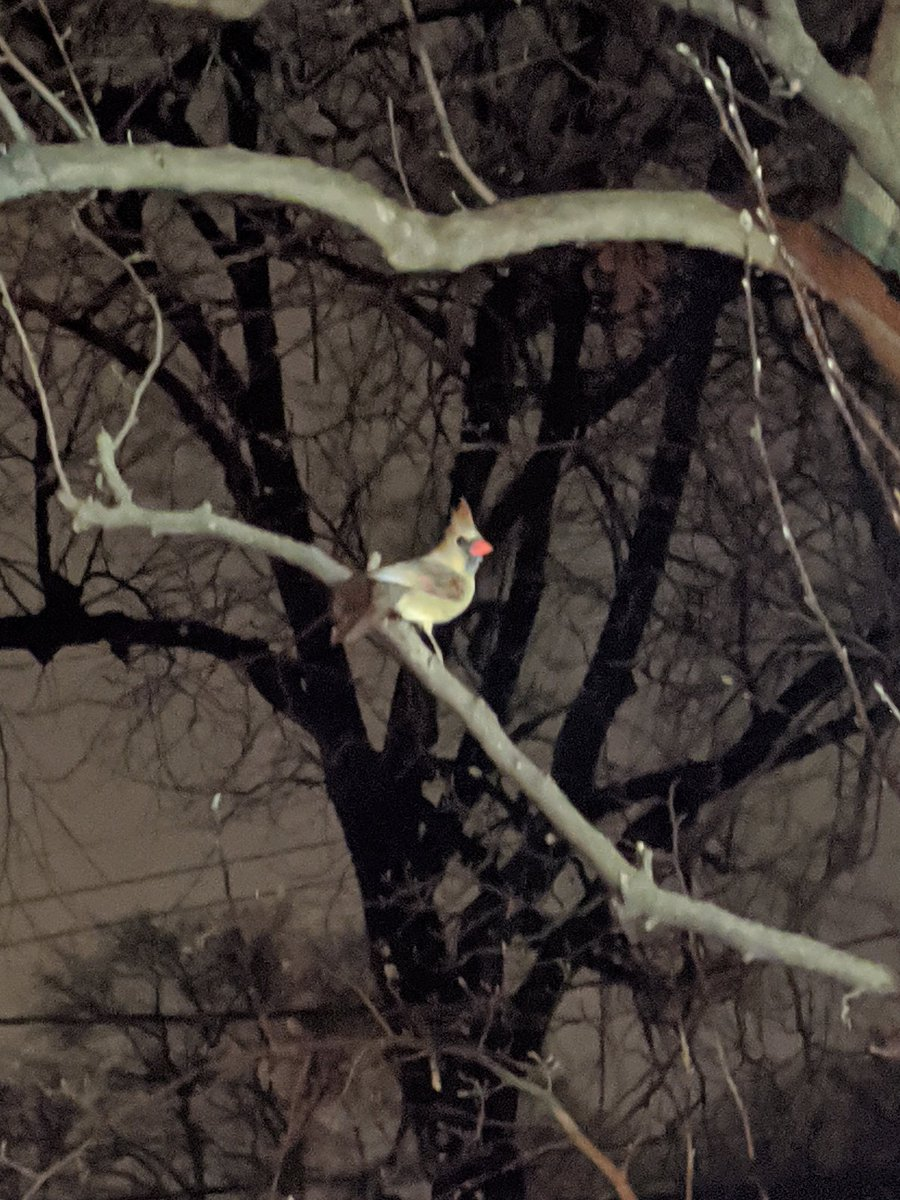 Saw this beautiful little in my yard at 11pm last night. I have never seen a bird up so late and for a second, I thought it was a bat. What a pleasant surprise! #birdwatching #birds #cardinalpic.twitter.com/IaWYSRXVY3