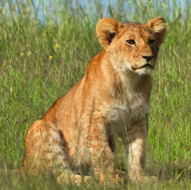 One of the Enkoyonai #lion pride cubs watching mum walking away#zebraplainsmoments#zebraplainscollection.....#lionsofinstagram #instalion #lionking #lionsofafrica #magicalkenya #animalpolis #africanimals #africansafari #kenyansafari #ig_africa #igscwildlife #wildlife…