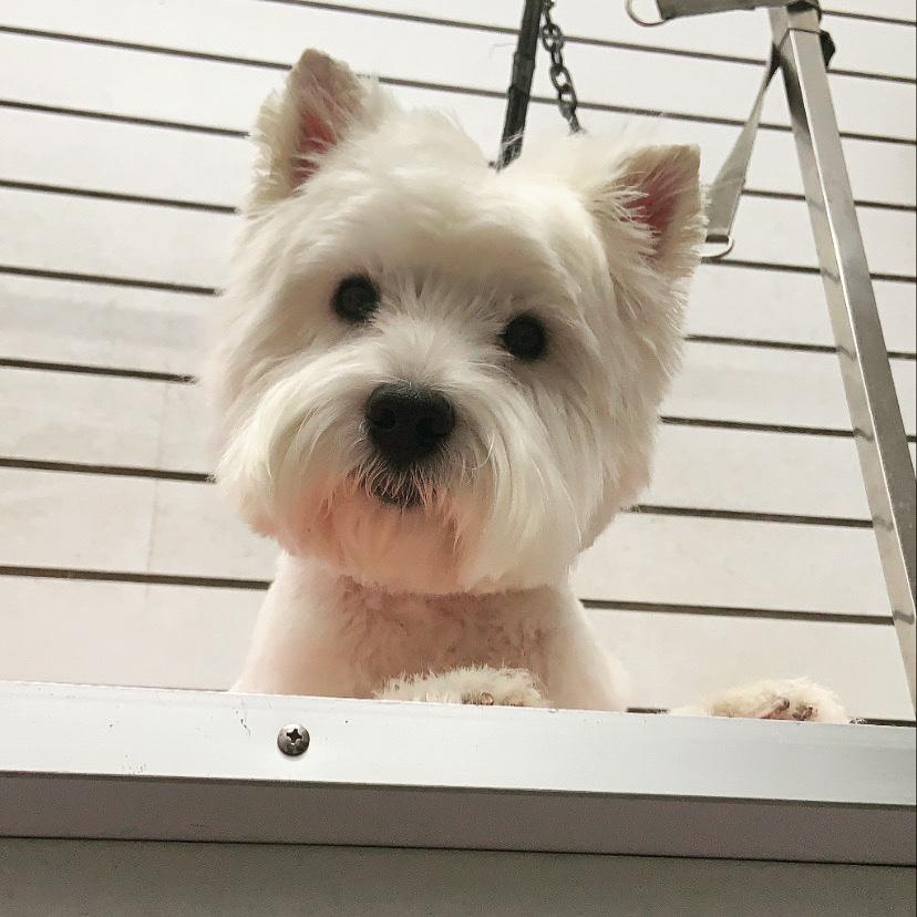 My Supervisor - She Watched Me Sweep The Floor  Poppy #DogGroomer #DogGrooming #Westie #WestHighlandWhiteTerrier #Dogs #DogSpa #DogGroomingSalon #Crufts #DogOfTheDay #DogLovers #DogsOfTwitter #NEFollowers #NewcastleUponTynepic.twitter.com/kHSgczdwMm