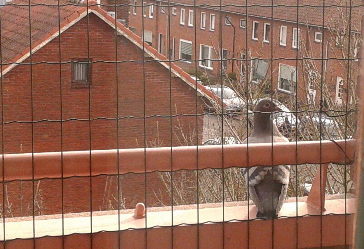 Visite bij het kattenbalkon. Als ie naar het andere balkon zou gaan, kon ie zo aanschuiven en een graantje mee eten. pic.twitter.com/X7p7QBAqGN