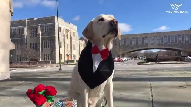 Growley: @VTCorpsofCadets canine ambassador and king of #ValentinesDay 🥰🐶👑
