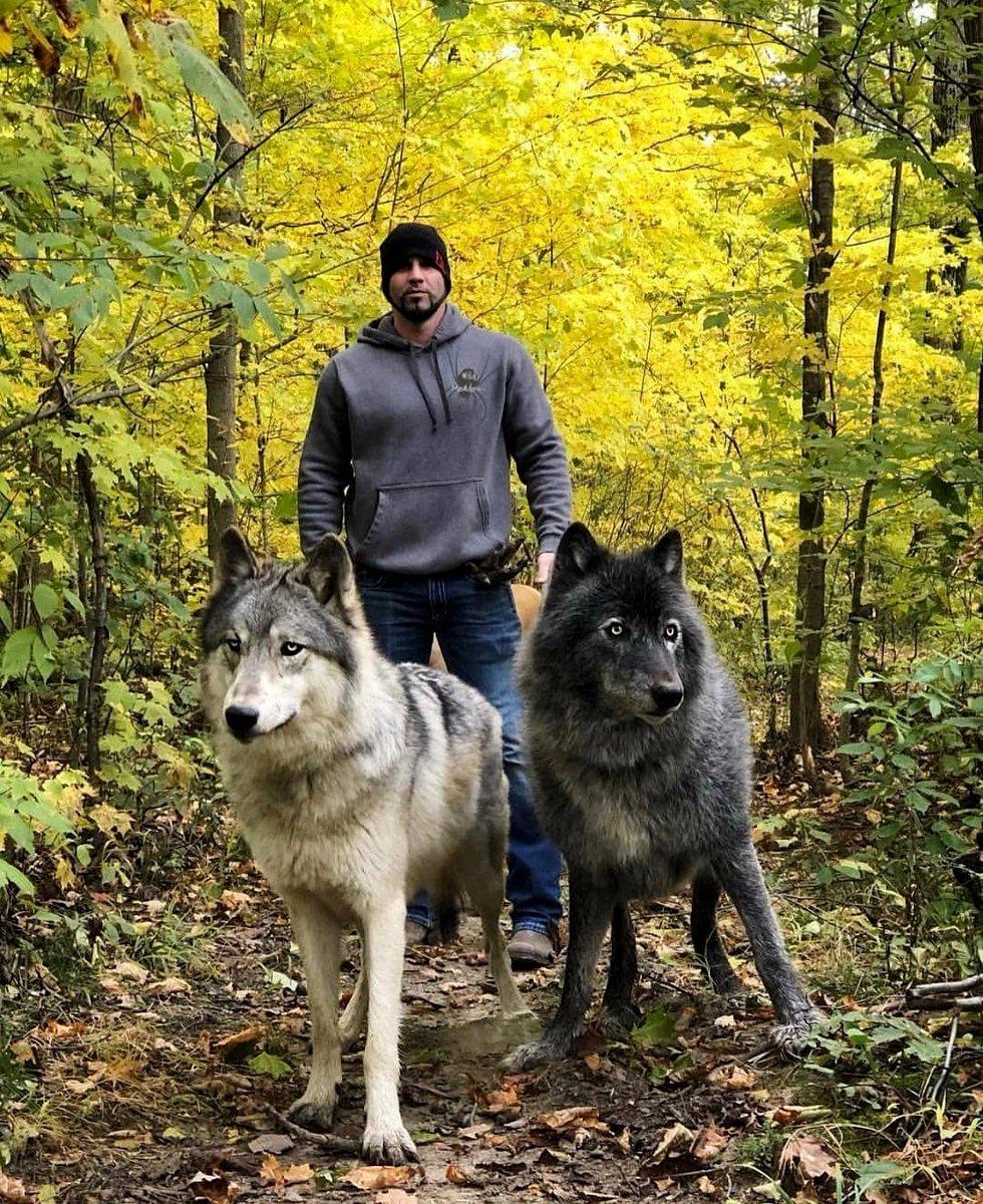 Who else loves these beautiful animals?  to be featured  click Here => https://www.wolfgurus.com/  #wolf #teenwolf #bestwoof #woof #wolfpack #wolves #werewolf #wolfdog #wolfsburg #lonewolf #wolfgang #worldofwolves #babywolf #realwolfdog #wolfmix #wolvesnation #wolfsanctuarypic.twitter.com/EYfaFLmJKb
