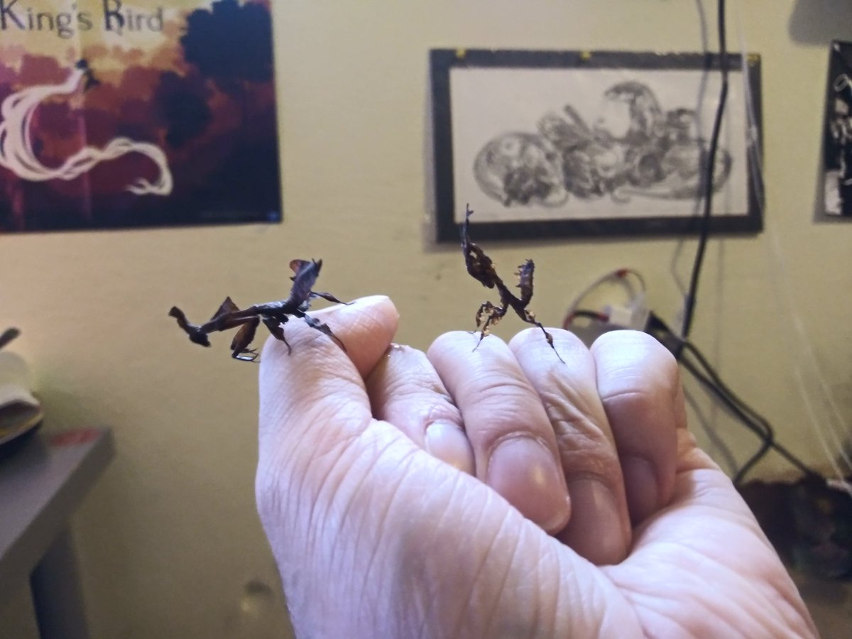 Aww my girls molted to L6s, lookin more n more pretty. Ghost Mantids.   #mantis #aww #insects #petsofinstagram #pets