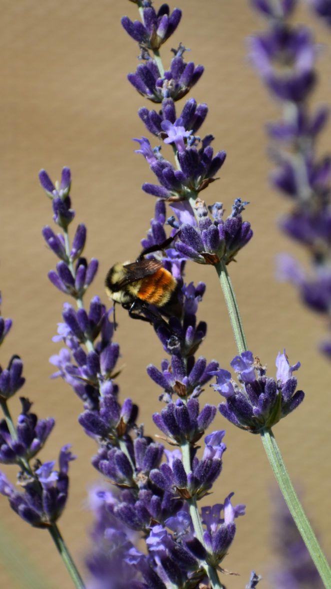 Hunt's Bumblebee  via @virilycom #Photography #Nature #NaturePhotos #NaturePhotography #Bees #Bumblebee #Bumblebees #NatureLovers #Fotografia #写真撮影 #фотография