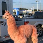 Image for the Tweet beginning: A PINK LLAMA dropped by