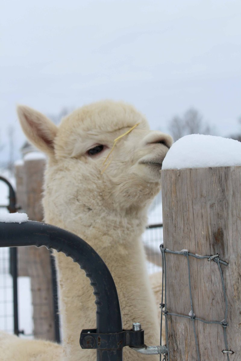 Making the most of winter.  #OHalpacas #Canadianfarming #CFFO #OntAg #Agmorethanever #backyardfarming #alpacas #alpagas #alpakka #Alpacaontario #alpacalovers #alpacaworld #DiscoverON #greatwaterway #QuinteWest #BayofQuinte #Farmlife #Farmlifebestlife #HobbyFarmpic.twitter.com/mHkK4x5bEZ
