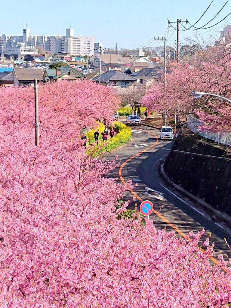 まつり 三浦 海岸 桜 三浦海岸桜まつり2021は中止!屋台や駐車場はどうなる??