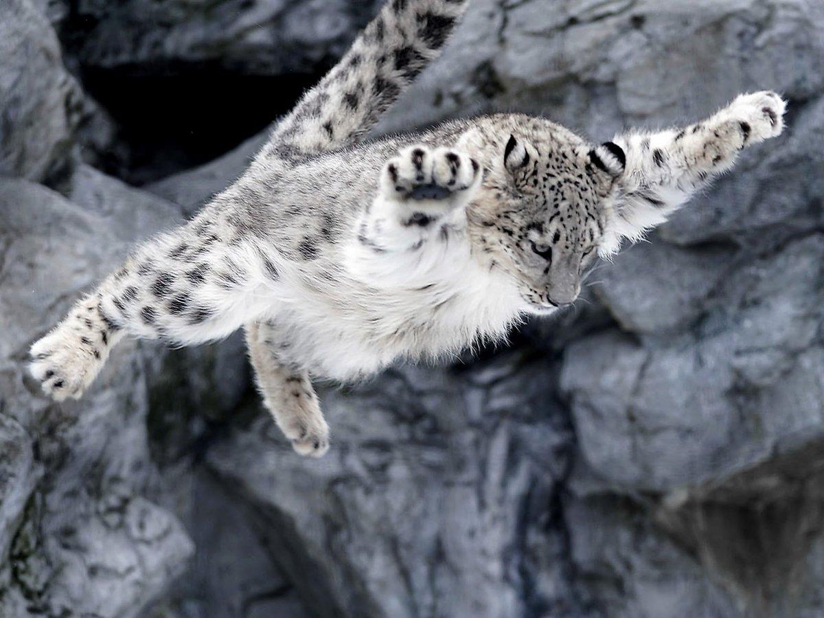 おてんばユーリちゃん。ジーマお母さんに向かってジャンプアタックを繰り返してました。#ユキヒョウ #旭山動物園