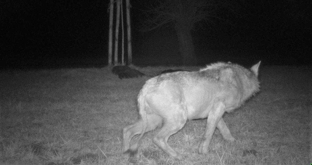 Kranker #Wolf im Kanton #Thurgau geschossen: Das Tier hatte in den letzten Wochen in den Kantonen St.Gallen #sg und Thurgau mehrere Schafe getötet, unter anderem in einem offenen Laufstall. Der kranke Wolf ist letzte Nacht geschossen worden.pic.twitter.com/txtij3163f