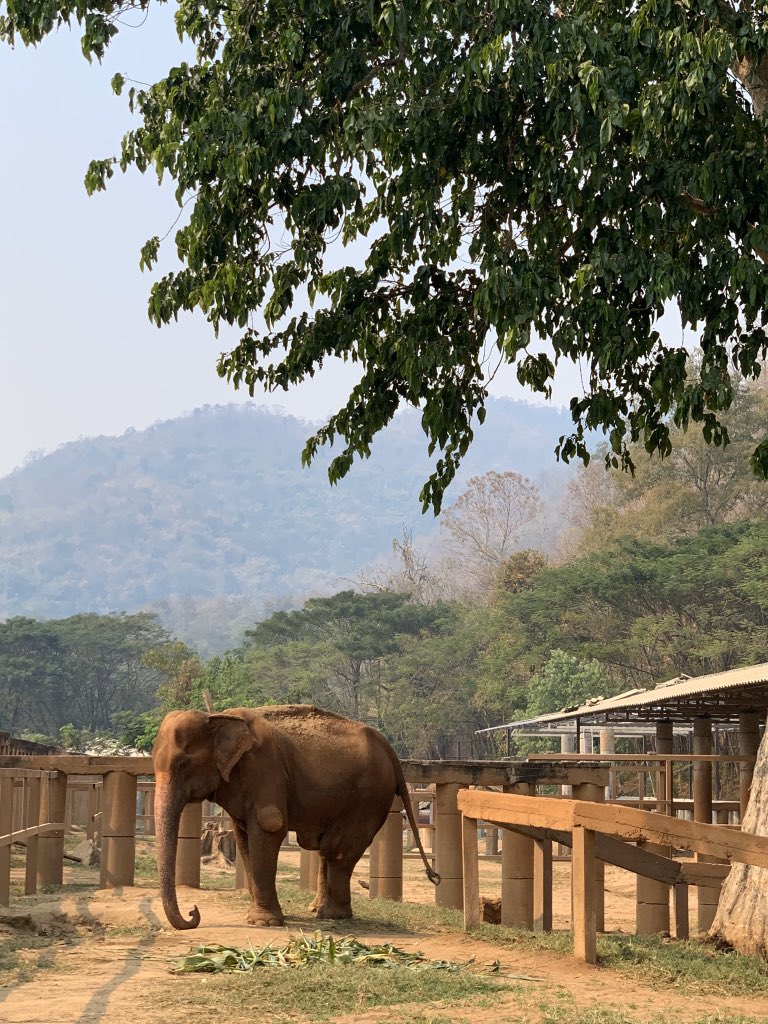 Please allow me to introduce you to the world's oldest #elephant (104!), Yai Bua.  She's been to hell & back more than any living being deserves, but she's a fighter trying to enjoy her new found #sanctuary a little while longer.  #elephantnaturepark #thailand #chiangmai pic.twitter.com/CfZ6rqGRdO