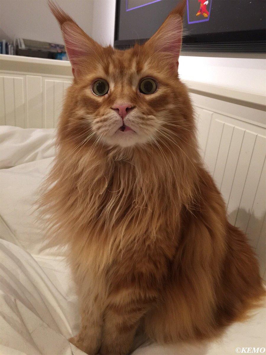 今日も可愛い我が家の巨猫💕#メインクーン
