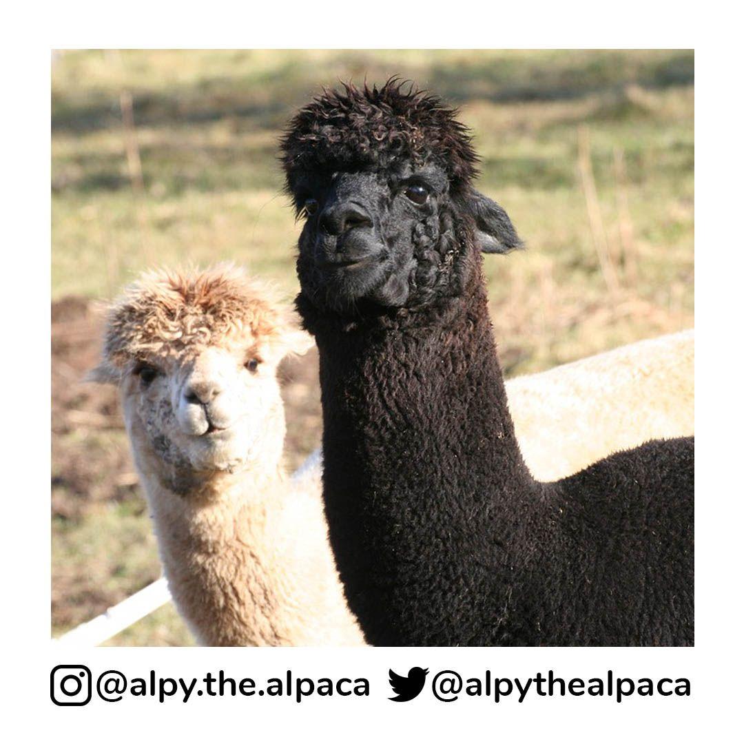 Friends . .  DM me for Credit/Removal  . . . . . #alpy #alpy.the.alpaca #alpaca #alpacagram #alpacalover #alpacas #alpacasofinstagram #alpacaworld #dailyalpaca #lllama #llamas #alpaka #alpakas #alpaga #alpagas #アルパカ #alpacalove #альпакаpic.twitter.com/9cbFPI05dk